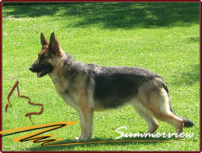 German Shepherd Destiny