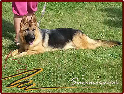 CKC Registered German Shepherd