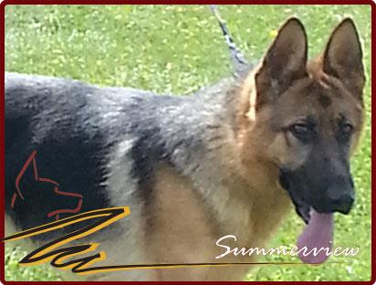 Registered German Shepherd