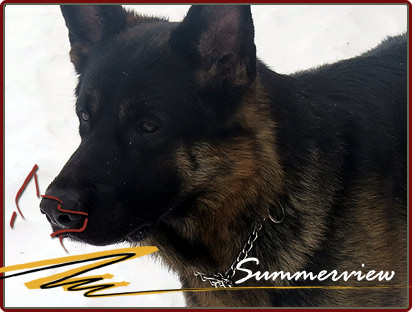 German Shepherd championship bloodlines