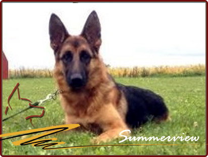 German Shepherd Championship bloodline