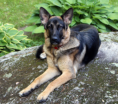 German Shepherd Dog - Moose