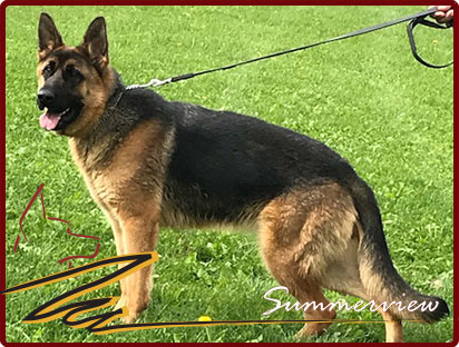 German Shepherd Championship bloodline