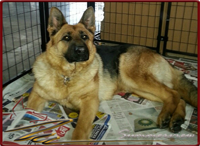 German Shepherd Star