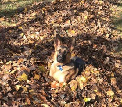 German Shepherd Dog - Shadow