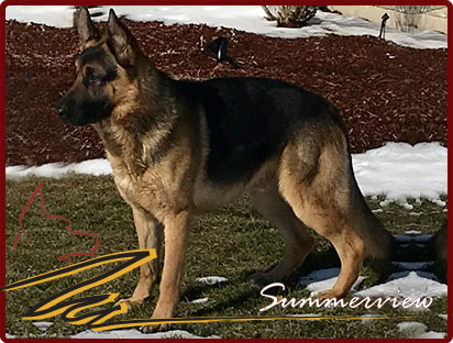 German Shepherd Stud Service