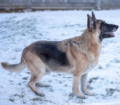German Shepherd, London